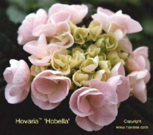 Hobella, bloeit in 3 verkleuring fases, steeds 4/6 weken tot aan de vorst