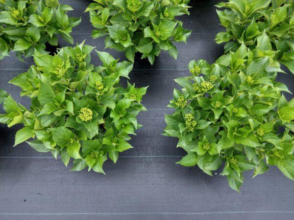 Grote volle potten, super kwaliteits planten van Hovaria