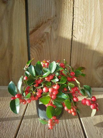 Gaultheria procumbens Oftewel Bergthee, een groenblijvend plantje die overal kan staan,van zon tot schaduw.