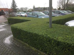 Ilex Convexa voor strakke hagen verkrijgbaar bij buxuskoning.nl