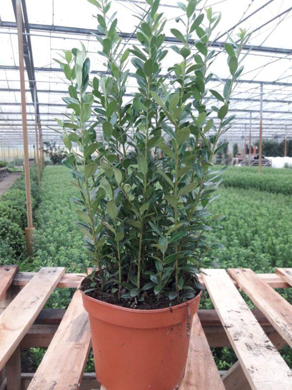 Forse plant met 12/16 planten in 1 pot