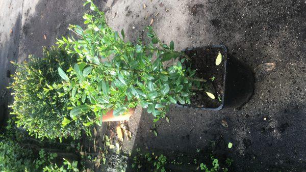Ilex crenata 30-40 cm hoog, in 2 liter pot met 4-6 planten