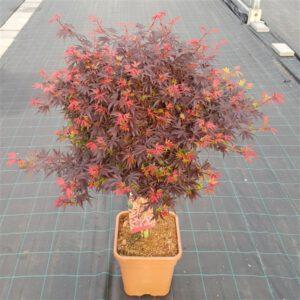 Acer palmatum Shaina , één van de mooiste Acers die we verkopen.