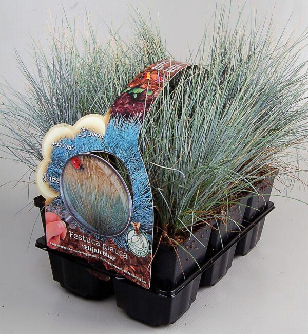 six-pack festuca glauca glauca 'Elija Bleu' met mooie foto en beschrijving