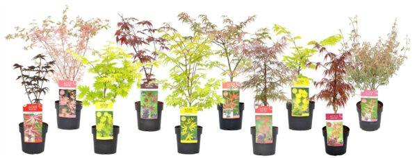 acer collectie in 19 cm pot, 50-80 cm hoogte