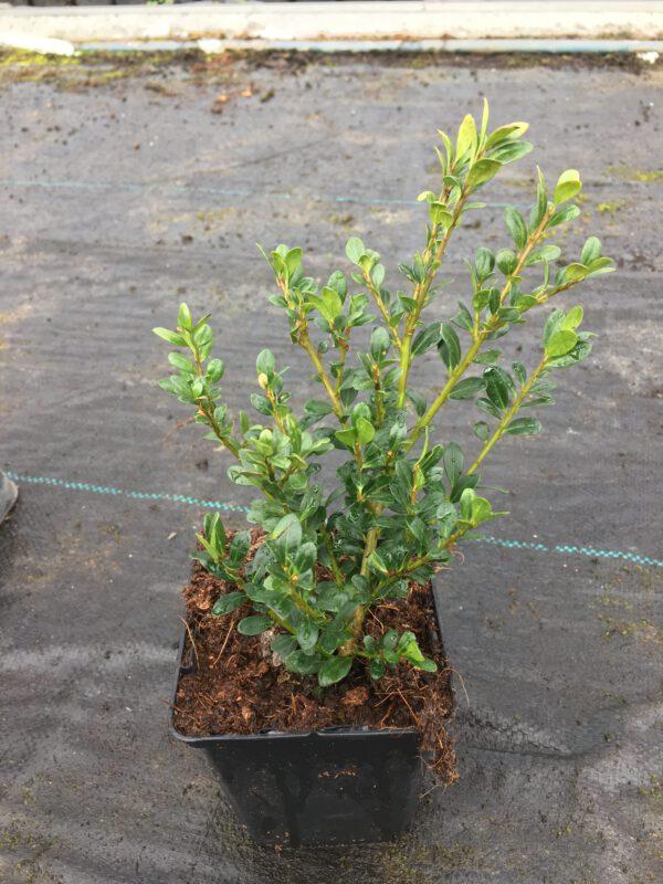 Compact,langzame groeier 10-20 cm per jaar, ilex crenata Glory Gem