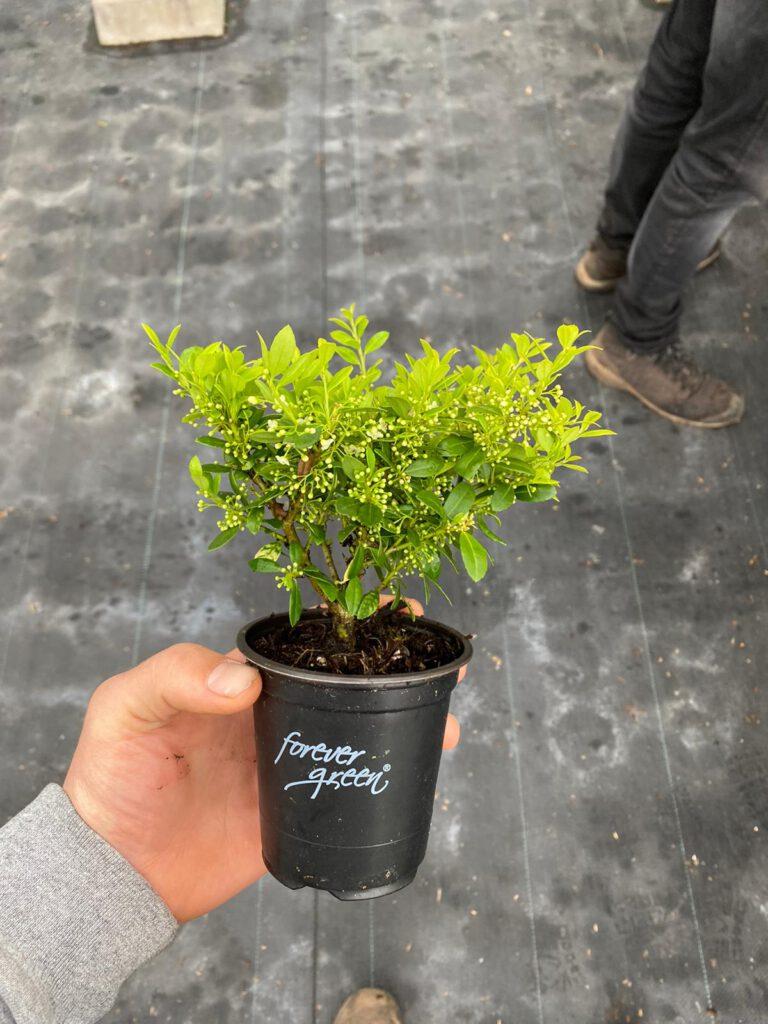 Ilex crenata Luxus Hedge 10/15 cm slechts €1,29 goedkoopste Luxusprijs van NL
