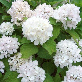 "Hydrangea macrophylla ""Soeur Therese"" - witte boerenhortensia"