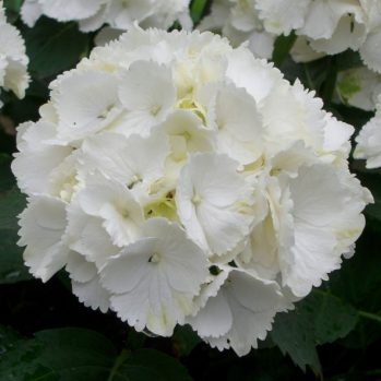 Zuiverwit en grote bloemen, Hydrangea macrophylla Schneeball
