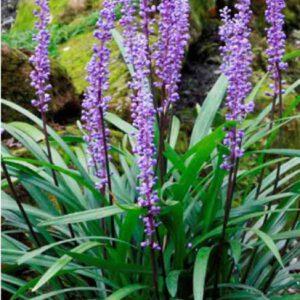 Liriope muscari Royal Purple kenmerkt zich door de donkere bloemstelen