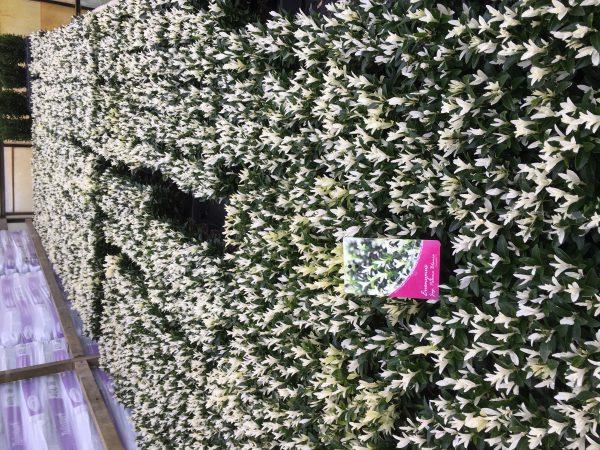 Euonymus Paloma Blanca, aparte exotische haag en van maart tot juni mooie groeiwijze.