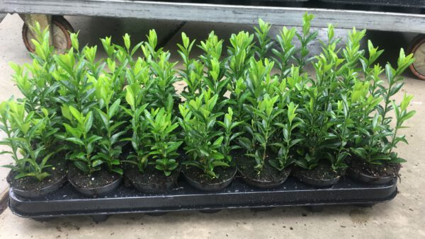 euonymus Green Spire met 4 planten per pot