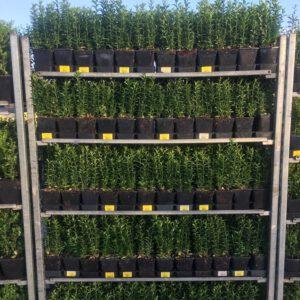 ILEX crenata caroline upright, met 3/4 planten per pot