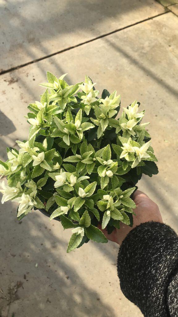 Euonymus japonicus Paloma Blanca 17 cm grote pot, met 4 planten