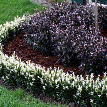 Euonymus 'Paloma Blanca'' een mooie en aparte Buxusvervanger
