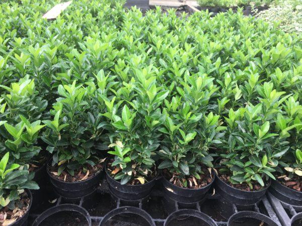 Euonymus Paloma Blanca zoals ie er van juli tot maart uitziet, groen ,