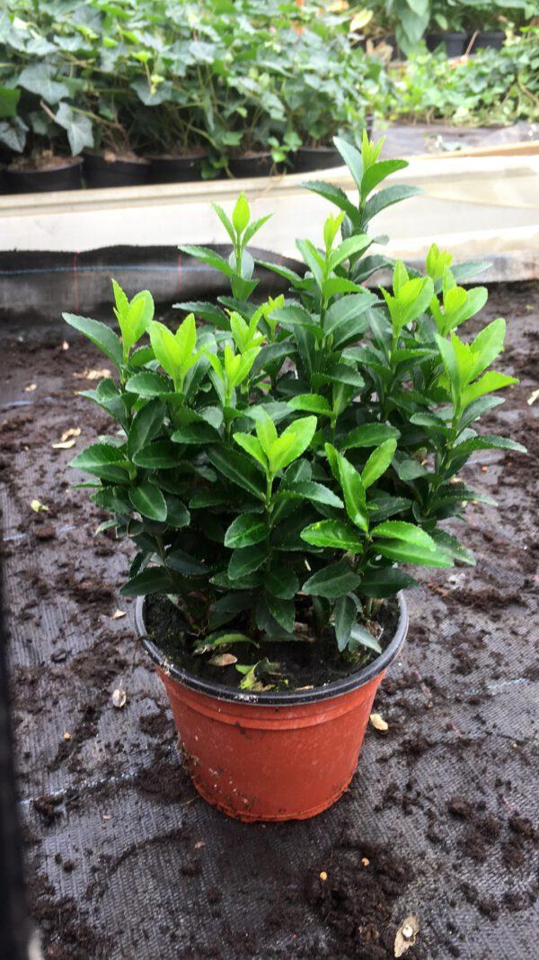 """Euonymus 'Green Spire"""" is een TOP Buxus vervanger"""