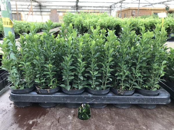 9 cm pot met 5 planten per pot, 8 potjes per meter geeft een strak resultaat