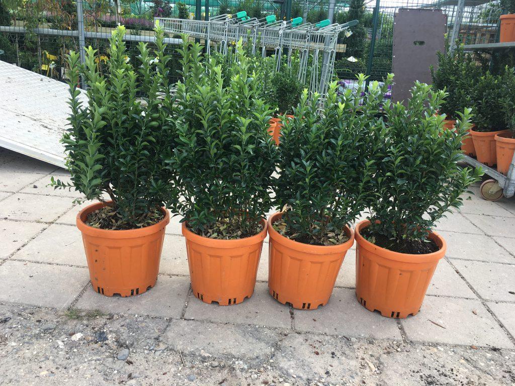 Euonymus japonica Green Spire 40/60 cm hoog,