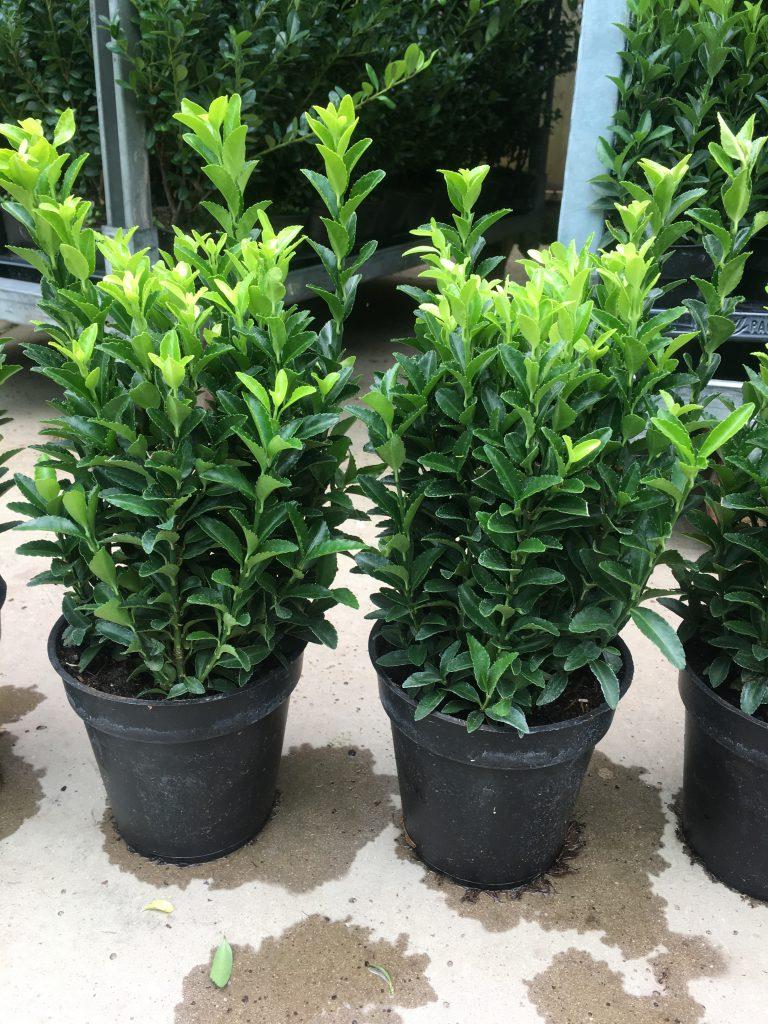 Zeer volle Euonymus planten met maar liefs 6 planten per pot