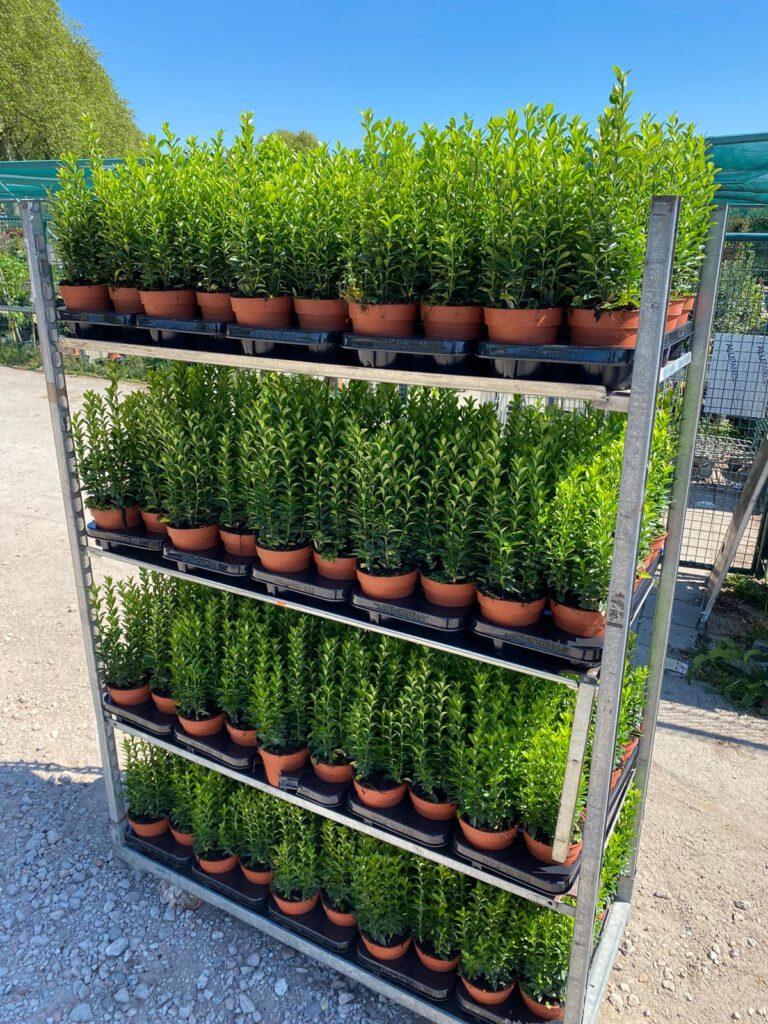 13 cm pot Euonymus Japonicus Green Spire 25-35 cm hoog met 7 planten per pot