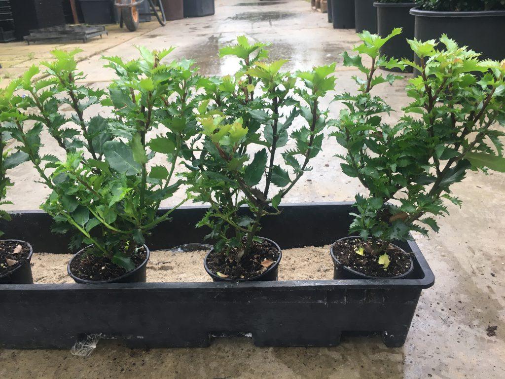Ilex mersevea Little Rascal , ook geschikt voor lage hagen tot max 75 cm hoog