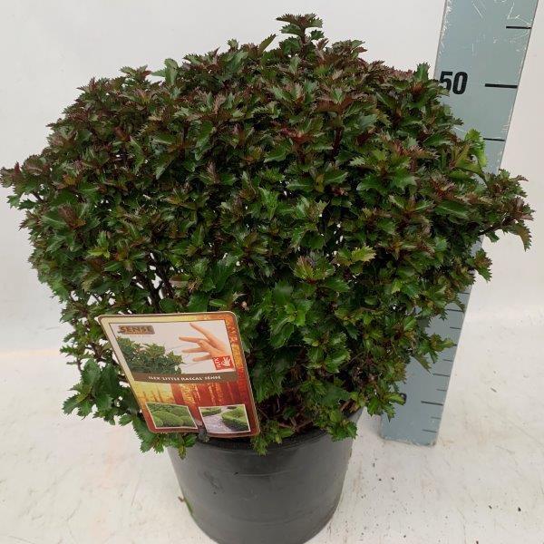 Ilex merservea Little Rascal een doornloze ilex , in winter verkleurd blad naar herfstkleur