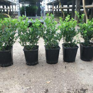 11x11 cm pot Caroline Upright met 3 planten en 2x getopt