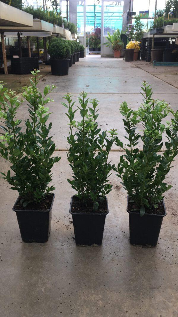 Ilex Caroline Upright 5 planten per pot en 30/40 cm