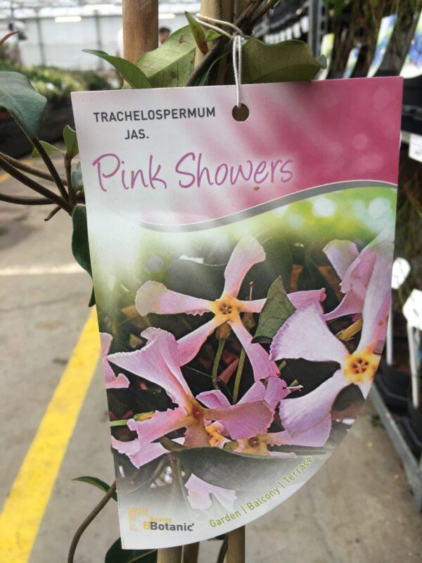 Rose jasmijn, nieuw, lang geurende bloeitijd
