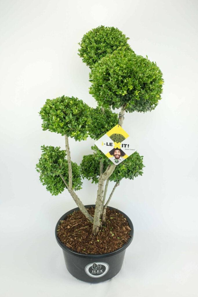 Bonsai boompje van ilex crenata Dark Green , zeer mooi vertakt