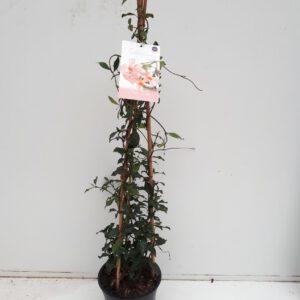 TRACHELOPSPERMUM Rose met 3 stok 90 cm hoog, geurend