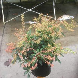 Pieris Taiwanensis Sense ,zeer winterharde groenblijvende plant