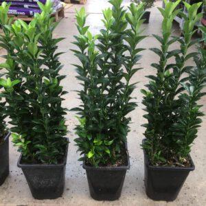 Euonymus japonica ''Green Spire'' zeer geschikt voor hagen