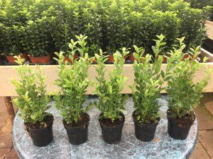 Nieuw , ilex crenata Caroline Upright met maar liefs 5 plantjes in 9,5 cm pot