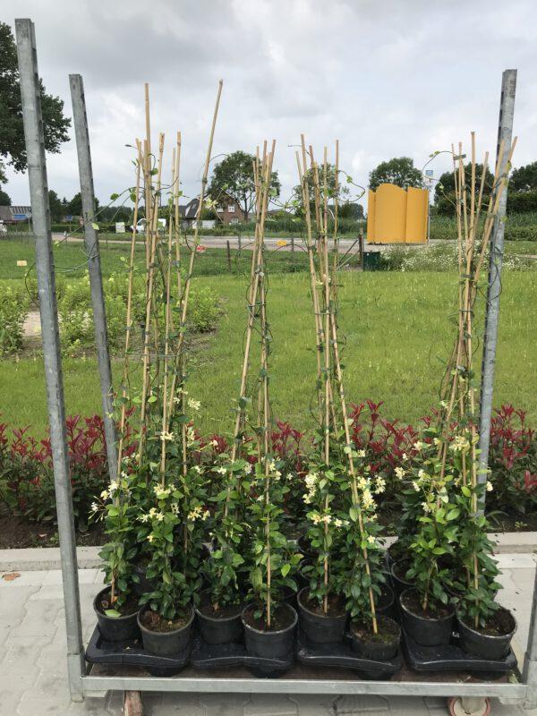Gele Toscaanse jasmijn in diverse maten verkrijgbaar