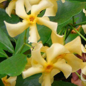 De Trachelospermum Jasminoidus Star of Toscane