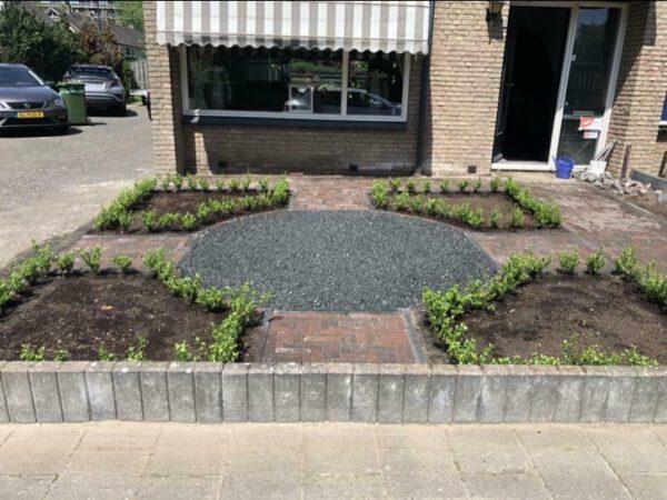 Mooie volle getopte ilex Caroline Upright 10-15 cm , aangeplant In Apeldoorn op 1-6-2019