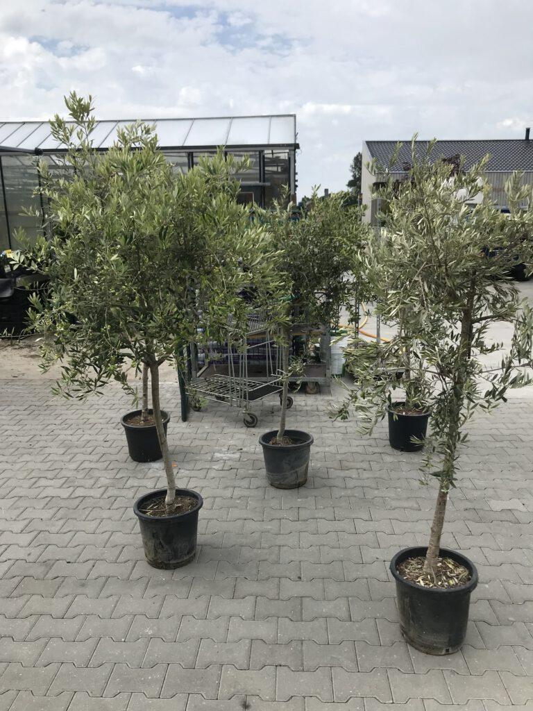 10 jarige olijfbomen vol vruchten nu 2 aug 2021