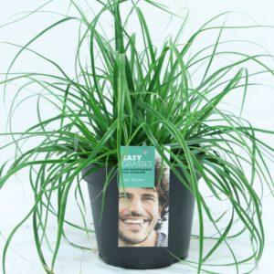 """Carex osimensis """"Everlme'' een nieuwe groenblijvende soort"""