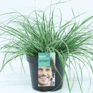 "Carex oshimensis ""Everest"" een witgroene blikvanger in u tuin"
