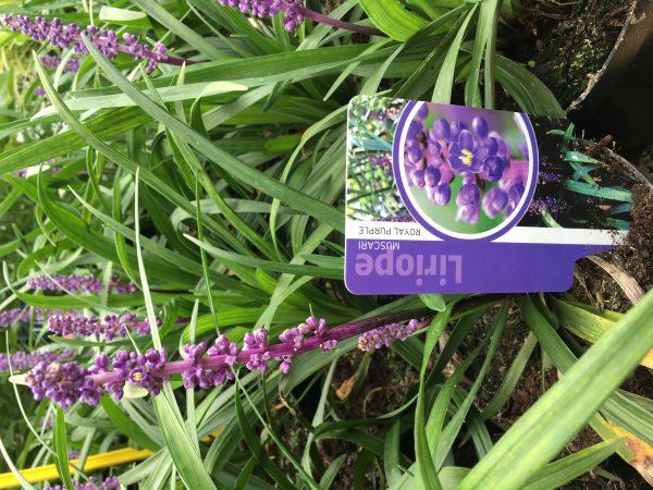"""Liriope muscari """"Royal Purple, vanaf augustus volop bloem"""