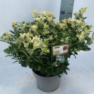 Euonymus japonicus 'Pierrolino'® Jaarrond met witte groei topjes