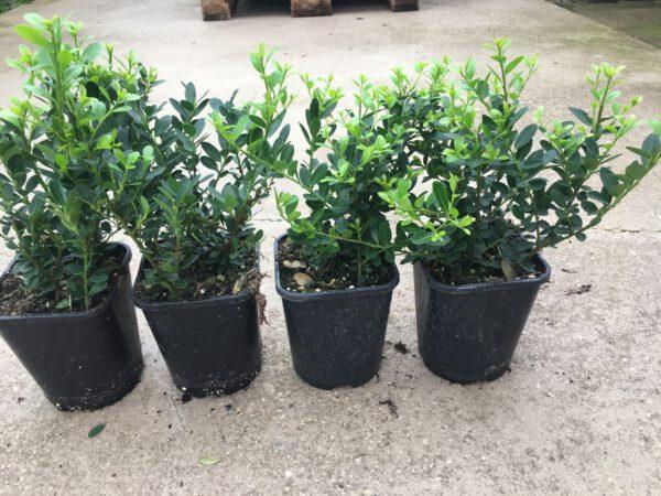 """wij kweken ILEX crenata """"Green Hedge"""" met meerdere planten per pot"""