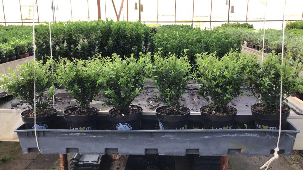 """Ilex crenata """"Dark Green"""" 14 cm pot en 20-30 cm hoog, 6 per 100 cm geeft een goed resultaat"""
