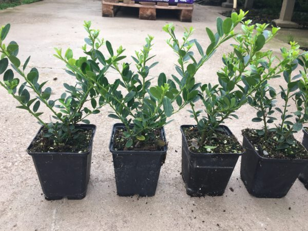 Ilex crenata Green Hedge 15/20 met 3 planten per pot