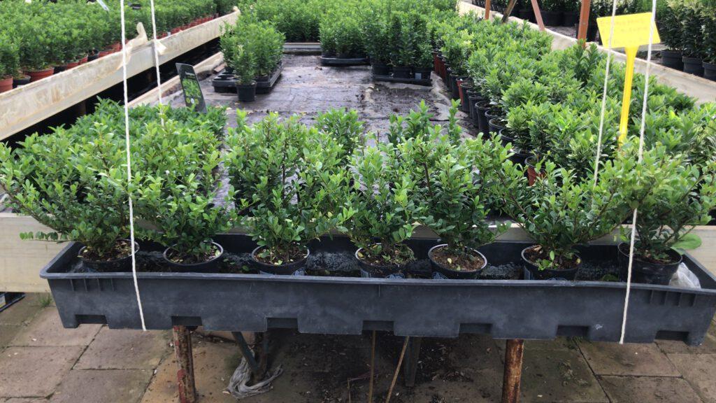 Ilex crenata Dark Green 20 cm hoog ongeveer, in 9 cm pot , met gemiddeld 2 planten per pot, en meerdere malen getopt,