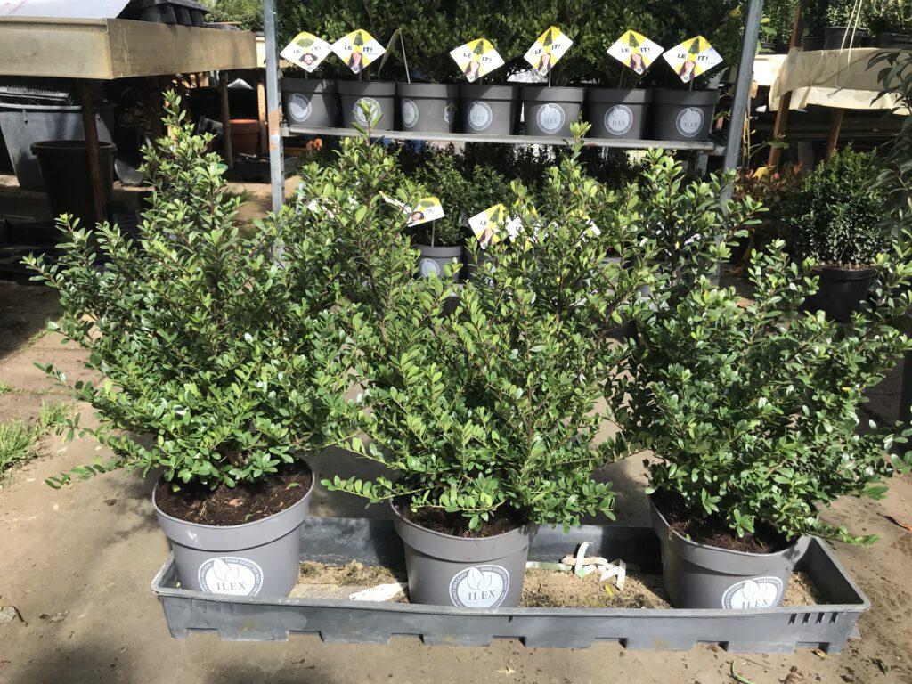 Ilex Dark Green ook in Grote en volle potten te bestellen tot 50/60 cm hoog en 30/35 cm doorsnee