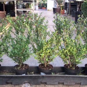 ILex crenata Dark Green 40/60 cm in 100 cm lange bak, 5-6 per meter