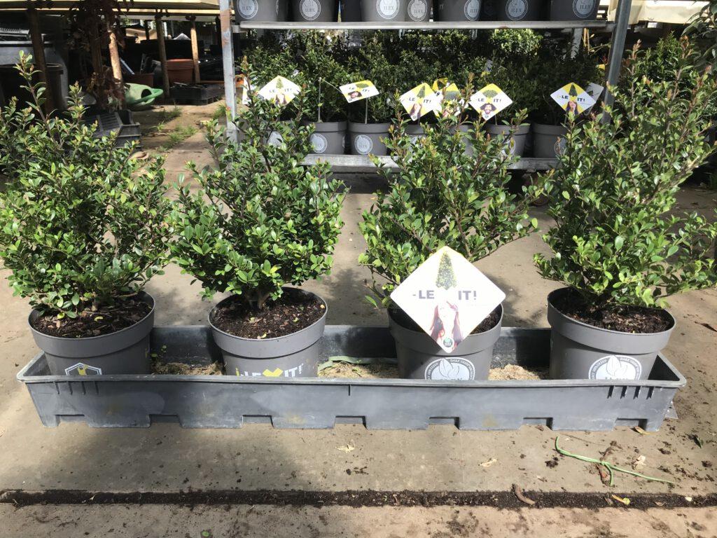 Ilex Dark Green ook in Grote en volle potten te bestellen 50/60 cm hoog en 30/35 cm doorsnee